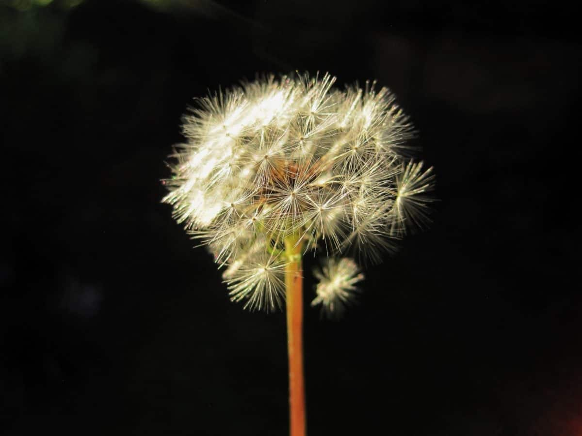 flora, dandelion, flower, nature, herb, plant, photo studio