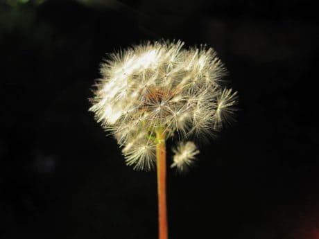 flora, dandelion, flower, nature, herb, plant, photo studio