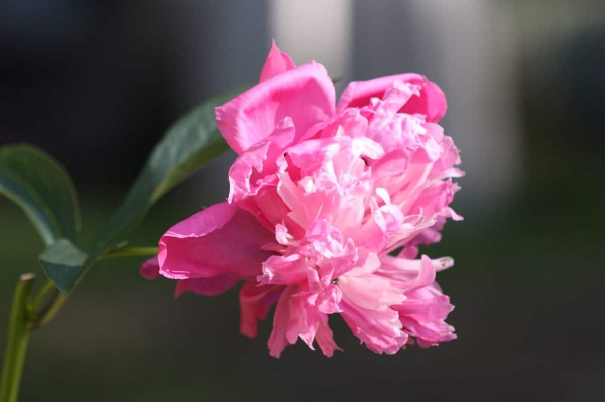 macro, flower, petal, garden, nature, leaf, oleander, pink, herb