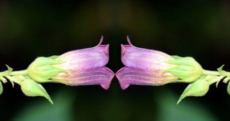 Blume, Flora, Blatt, Natur, Garten, Pflanze, rosa, Blüte