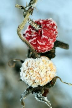 flower, nature, winter, cold, ice, rose, frost, cold
