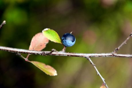 bleuet, nature, berry, fruit, feuille, branche, plein air, macro
