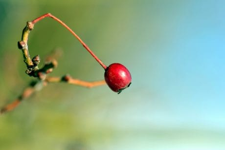 nature, fruit, berry, sweet, plant, branch