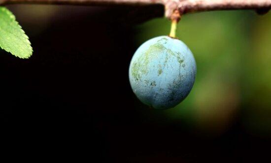 plum, orchard, wood, fruit, food, leaf, organic