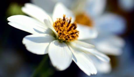 flora, nature, garden, macro, flower, daisy, petal, plant, blossom