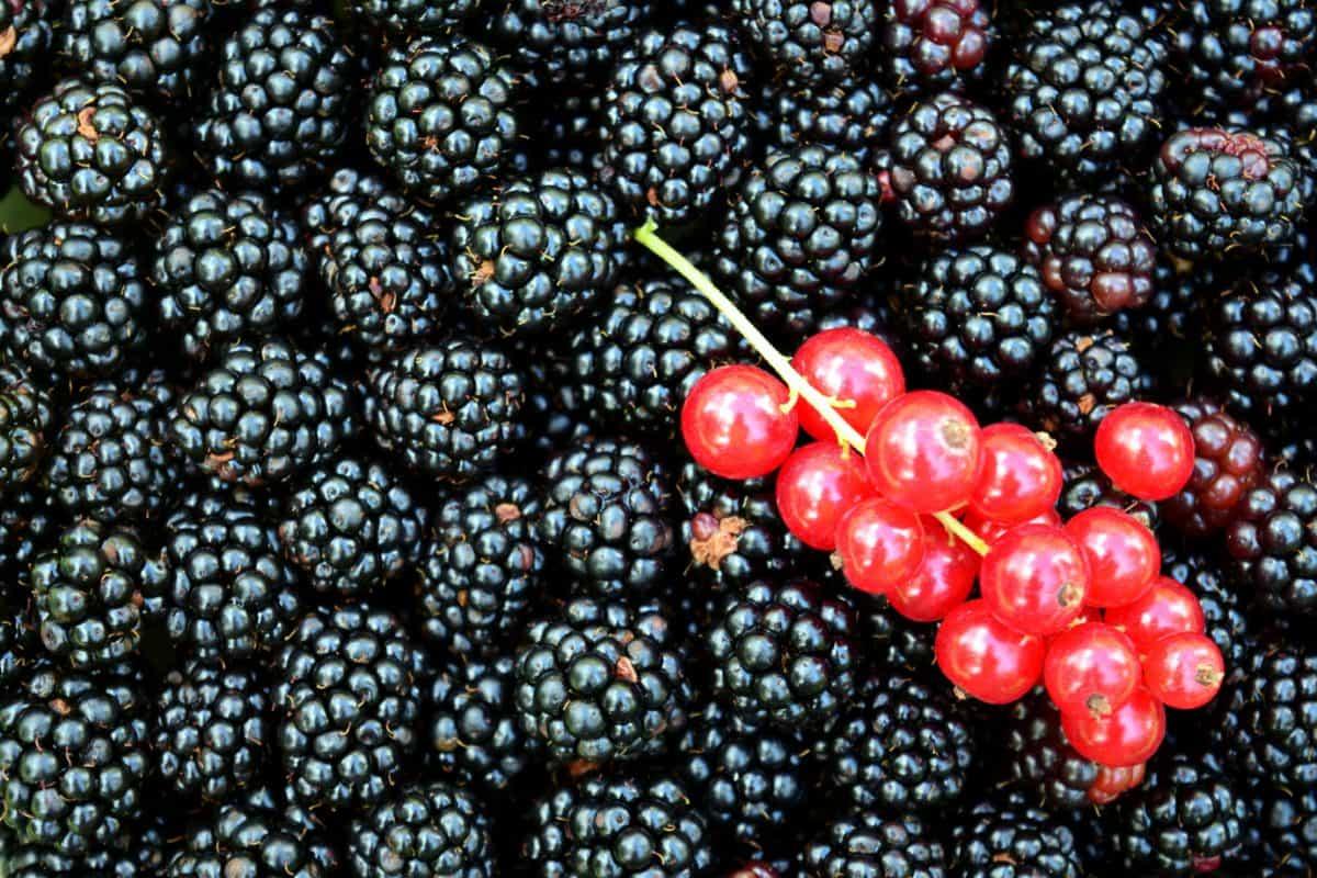 Beere, Lebensmittel, Obst, süße, Brombeere, Johannisbeere, Dessert, Pflanze