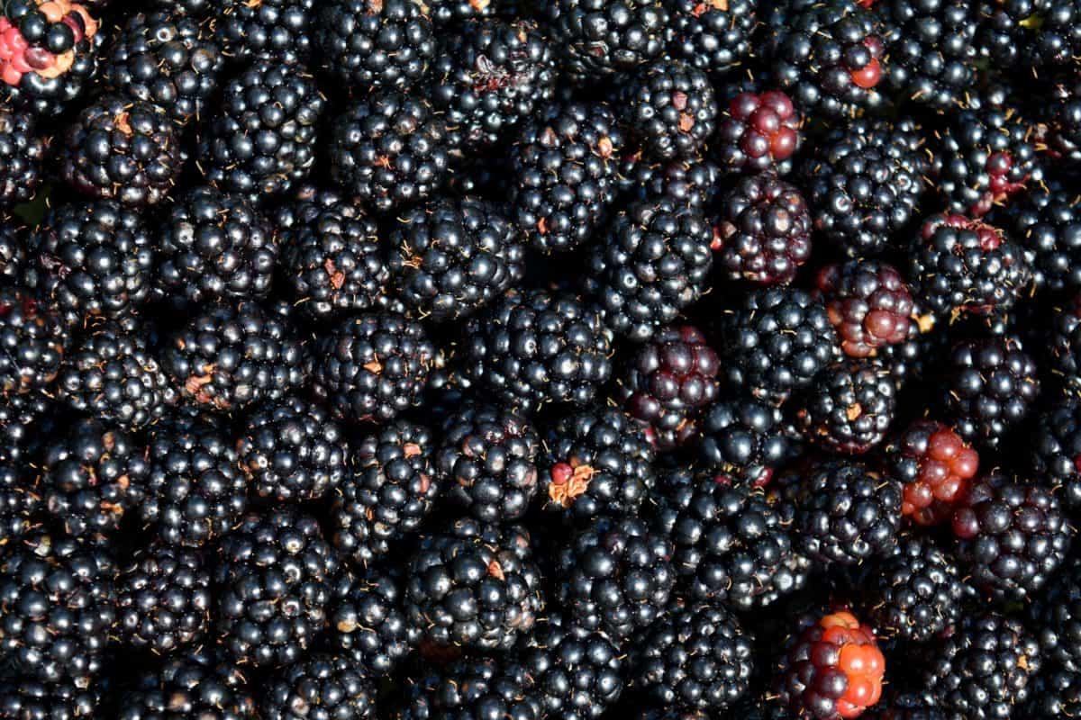 food, blackberry, berry, fruit, macro, detail