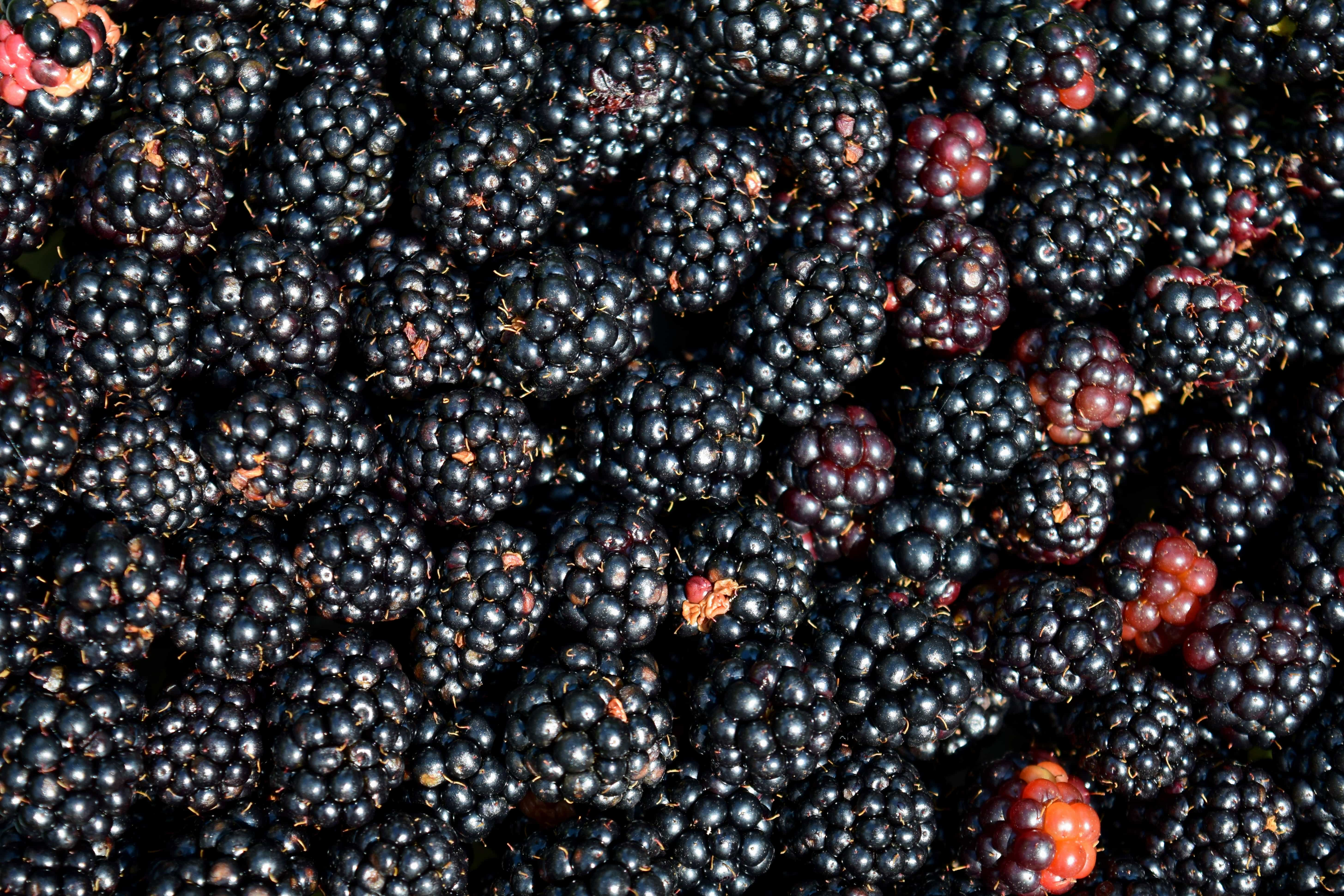 Free Picture Food Blackberry Berry Fruit Macro Detail