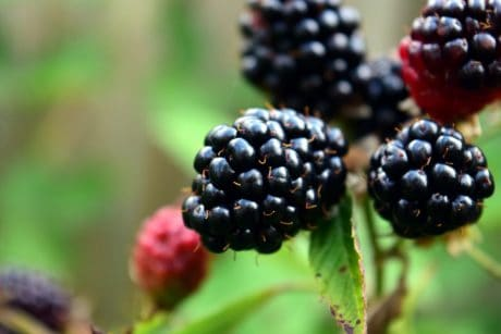 fruit, berry, food, nature, leaf, blackberry, sweet, diet