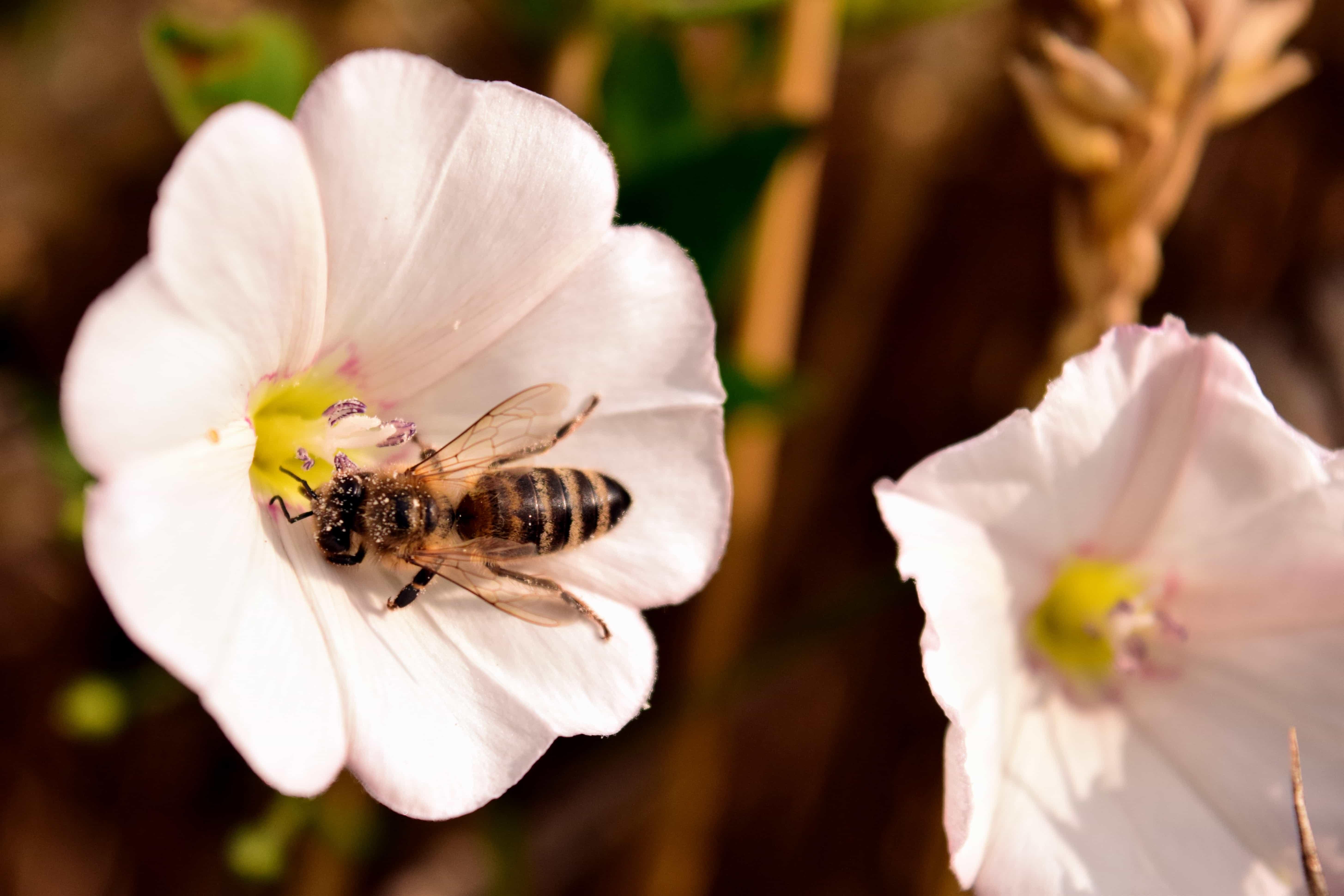 Kostenlose bild pollen makro natur blume biene for Ahuyentar abejas jardin