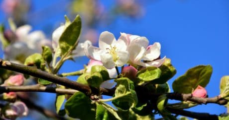 flower, flora, leaf, apple, tree, nature, garden, branch, blue sky