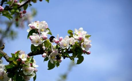 branch, flower, garden, flora, nature, cherry tree, blue sky