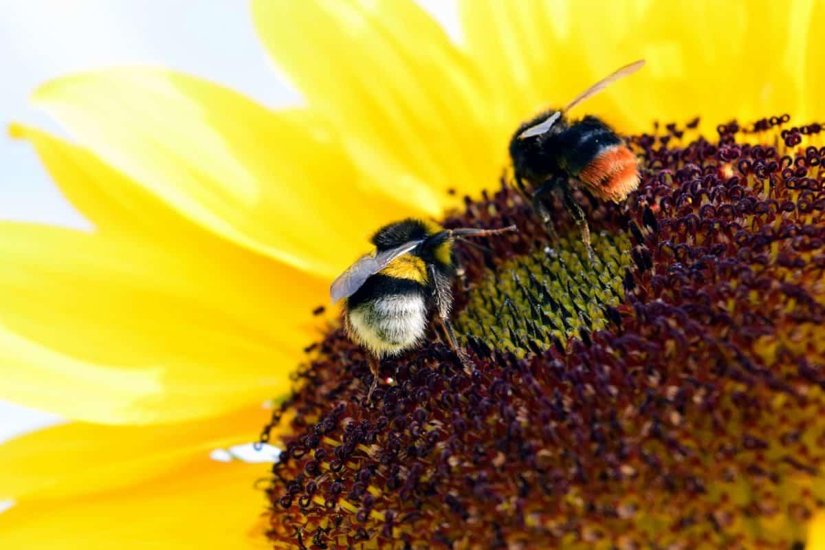méh, természet, napraforgó, beporzás, pollen, méh, rovar