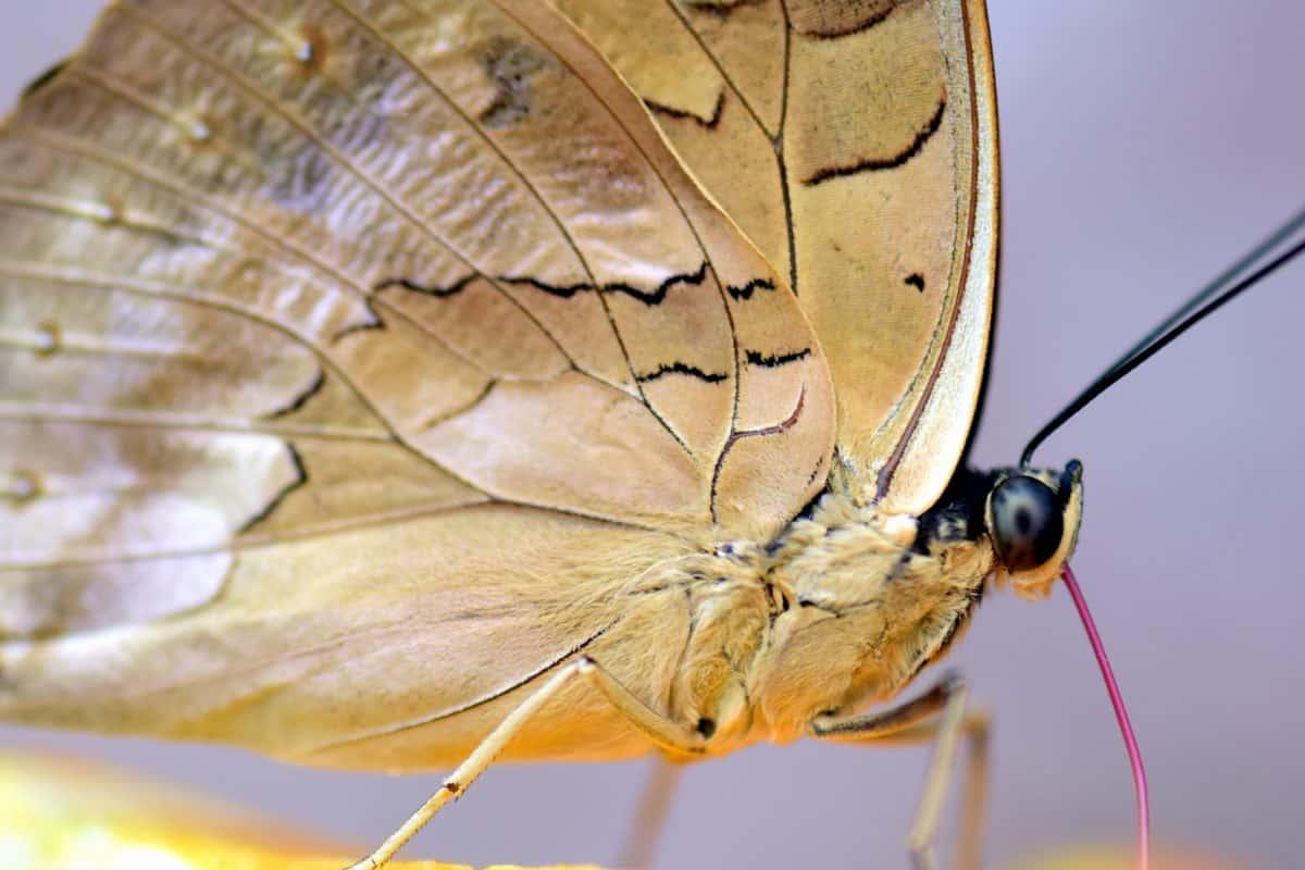 prirode, leptir, biologija, insekata, životinja, makro, krila, smeđe, arthropod