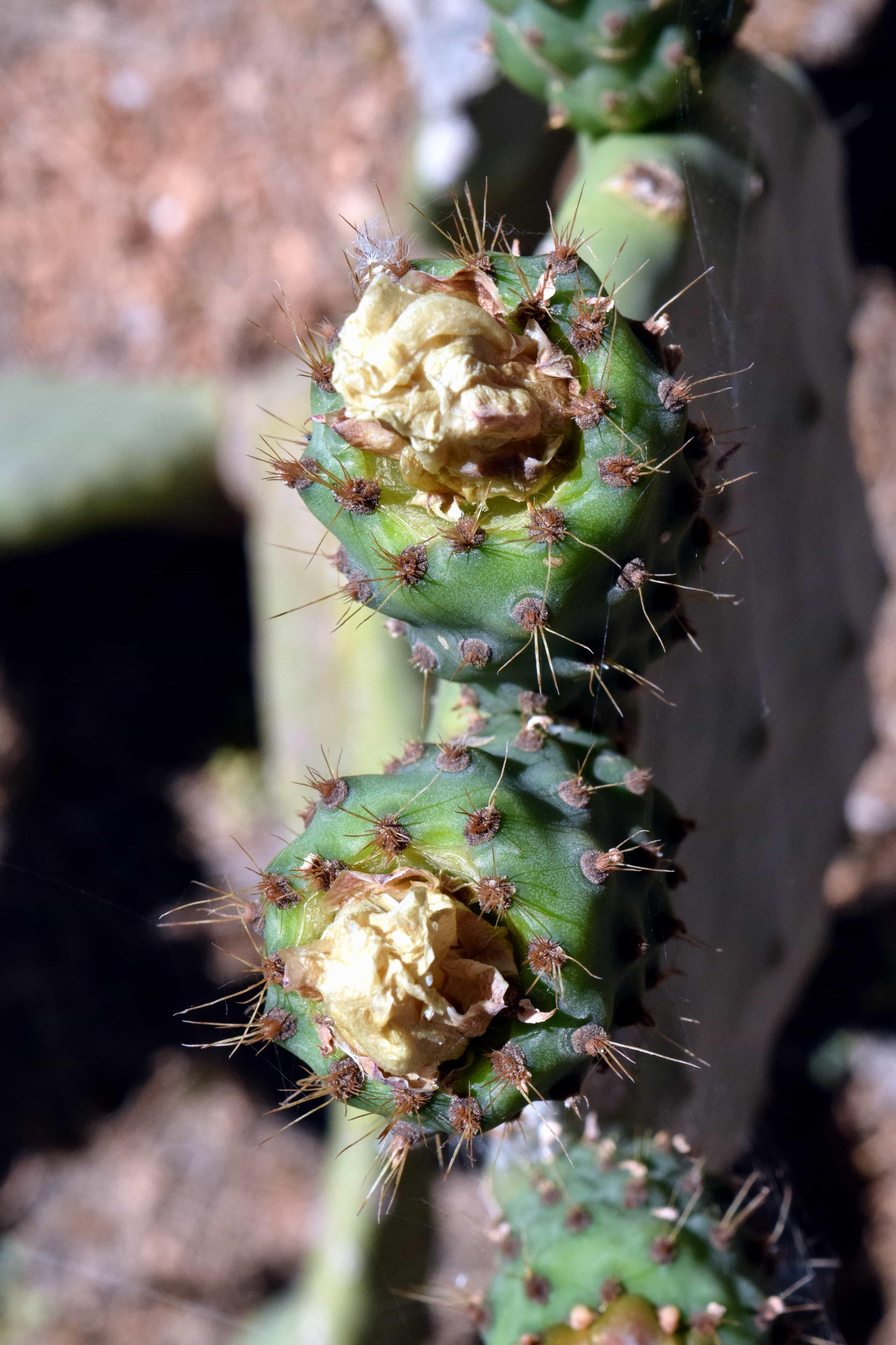 Imagen gratis flora naturaleza cactus seco agudo spike desierto