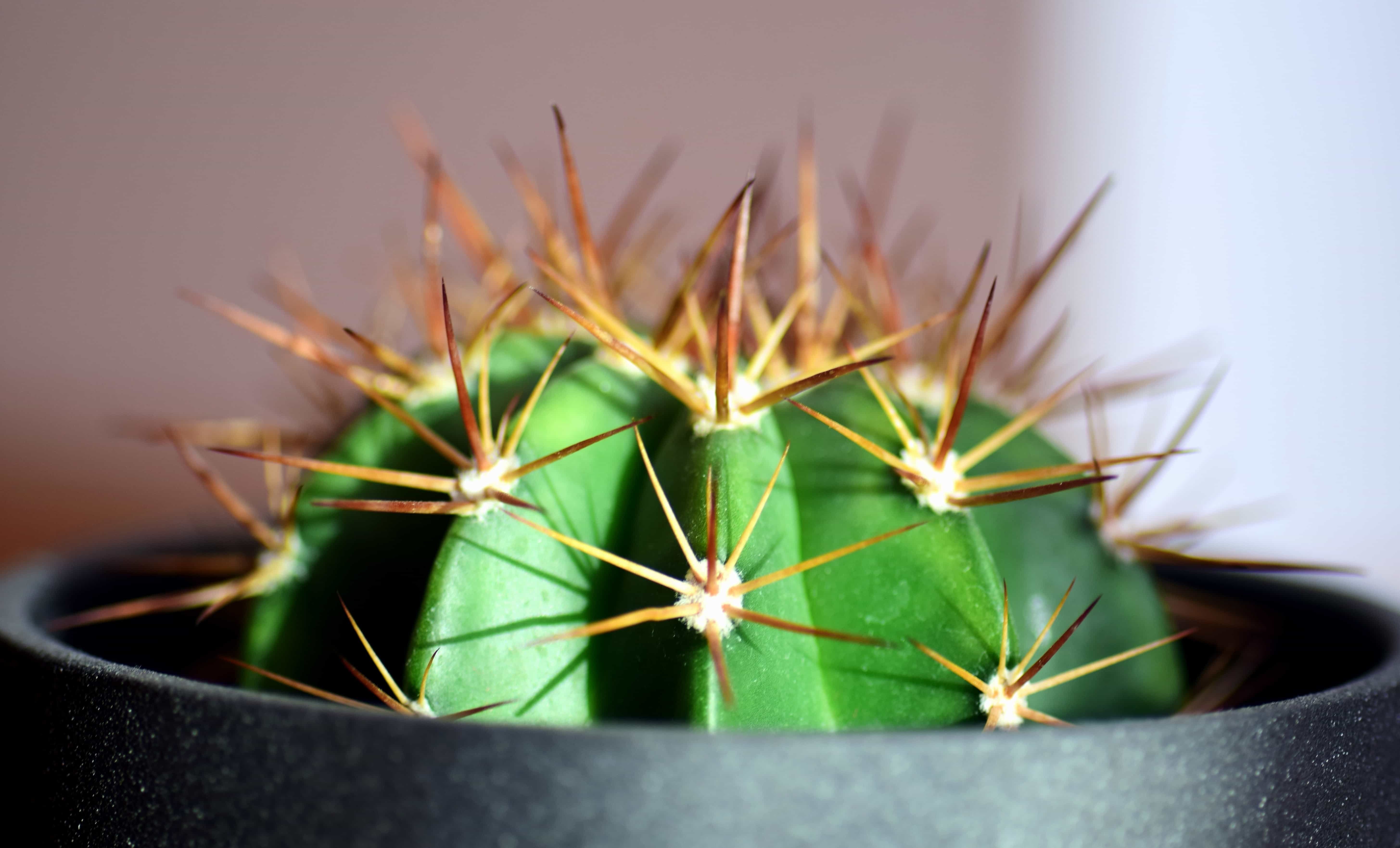 Free Picture  Cactus  Spike  Sharp  Nature  Macro  Flower