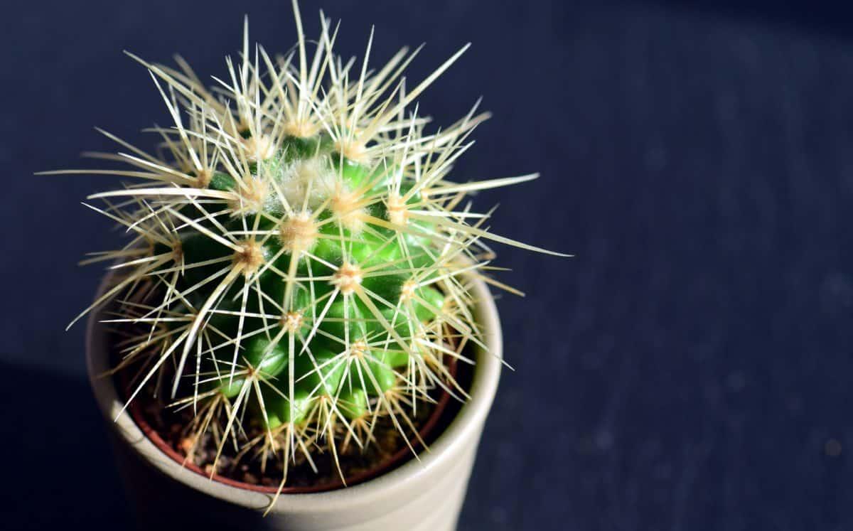 flora, thorn, sharp, spike, nature, cactus, macro