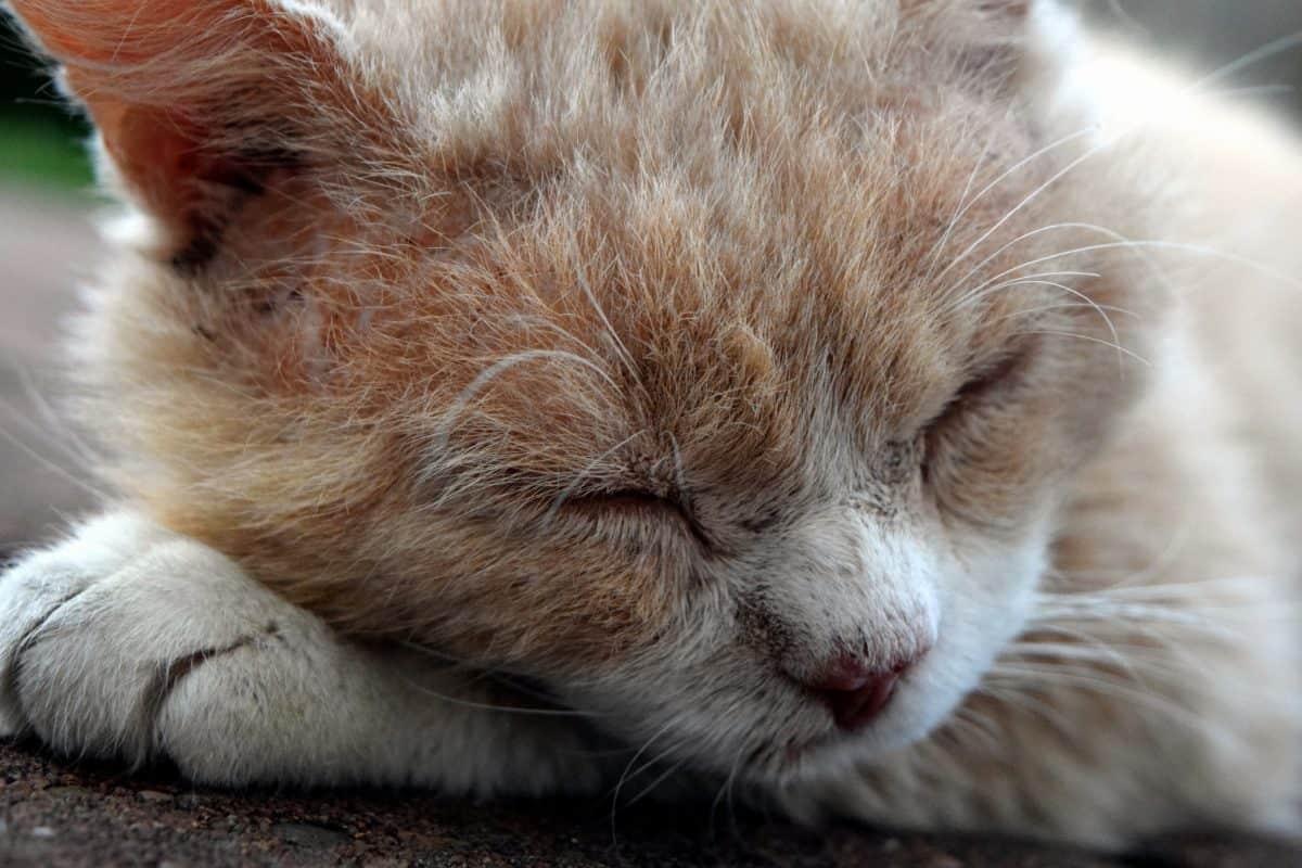 yeux, mignon, chat, animal, chaton, fourrure, animal, kitty, félin