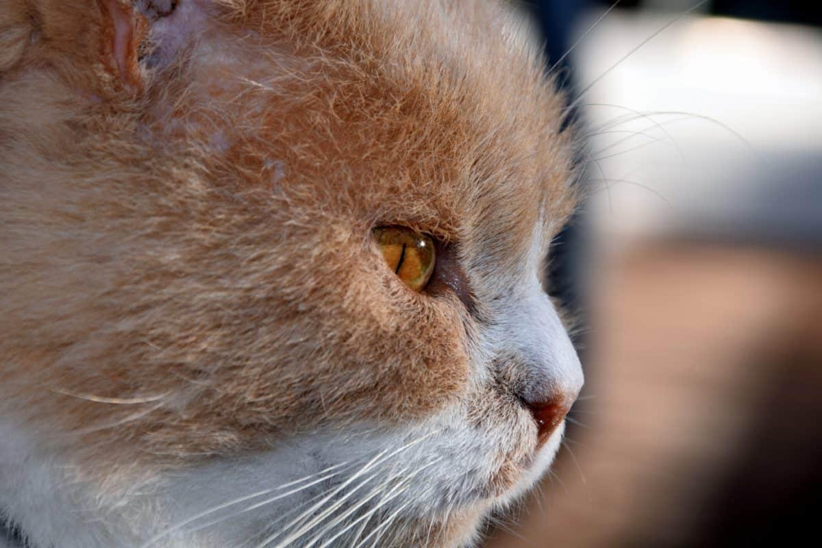 la fourrure, la faune, oeil, portrait, animaux, chat, mignon, féline