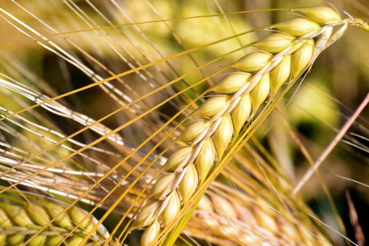 cereales, paja, semilla, macro, agricultura, campo, planta