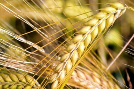 cereal, straw, seed, macro, agriculture, field, plant
