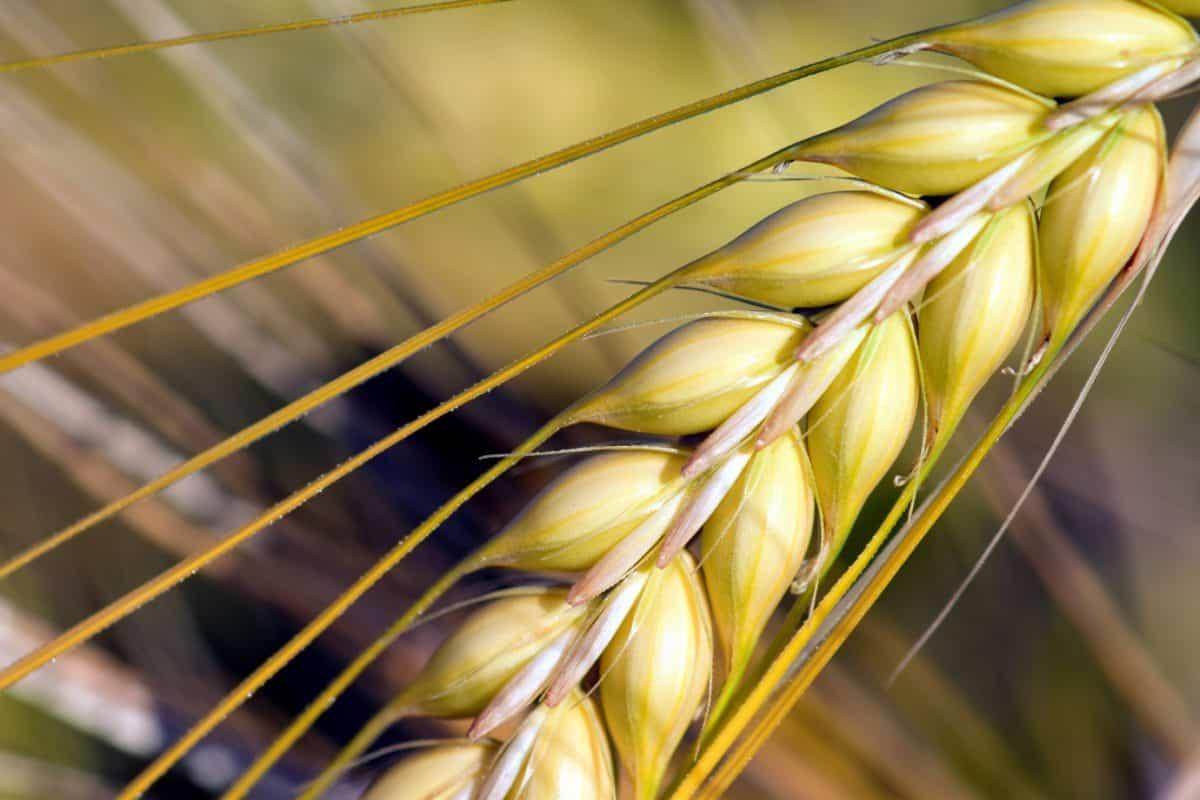 macro detalle, cereal, agricultura, flora, semillas, paja, verano