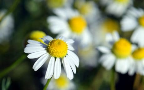 flower, summer, leaf, nature, flora, chamomile, herb, plant
