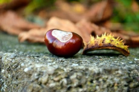 wood, nature, leaf, seed, chestnut, brown, autumn