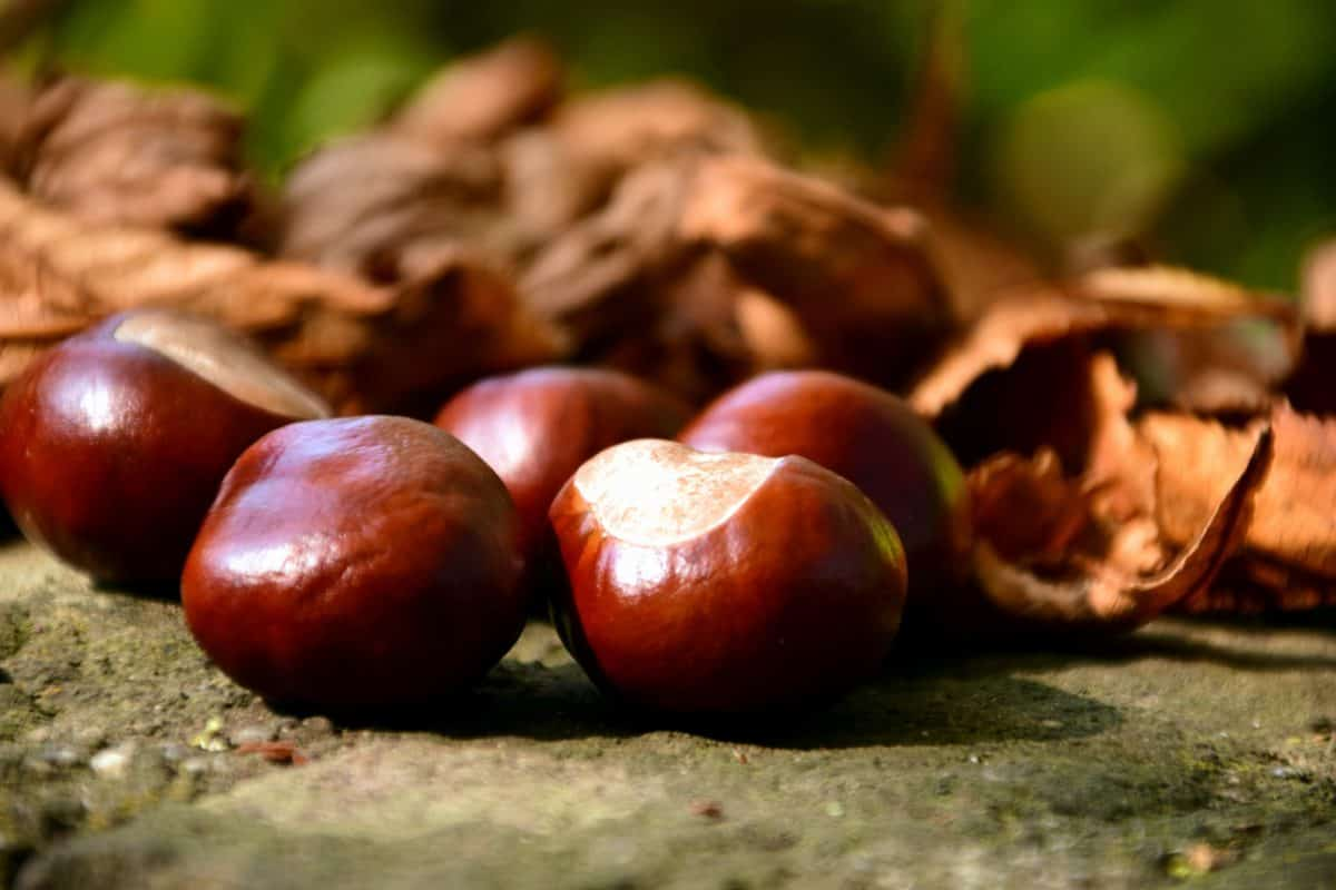 forest, macro, wood, plant, kernel, seed, leaf, chestnut, autumn
