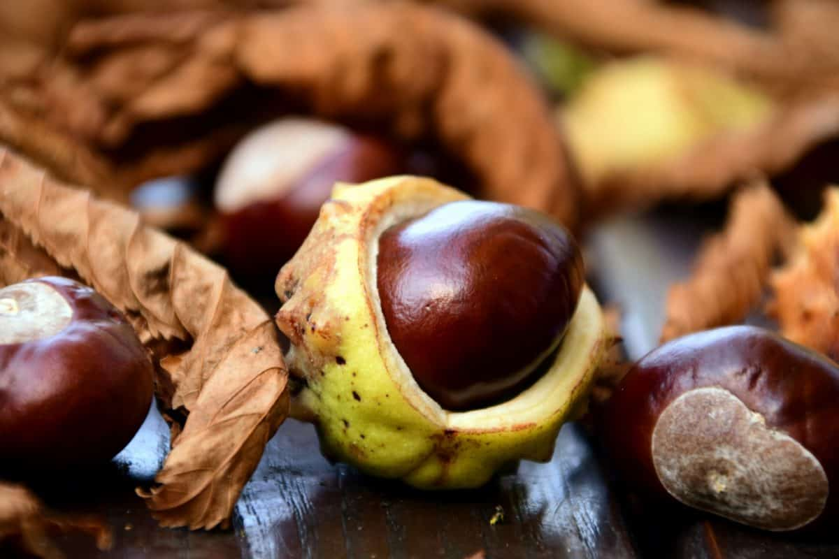 lasu, roślin, drewna, makro, brown, nasion, liści, jesień, kasztan