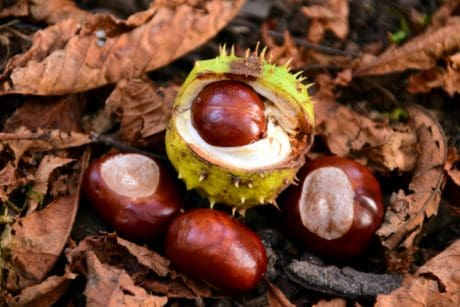 forest, plant, wood, autumn, chestnut, kernel, seed, leaf