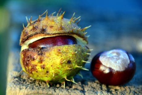 macro, daylight, detail, wood, flora, leaf, chestnut, autumn, nature, seed