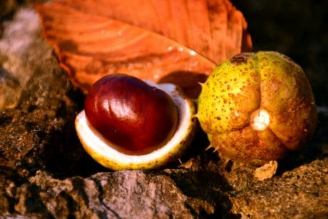 autumn, nature, seed, brown, wood, flora, leaf, chestnut