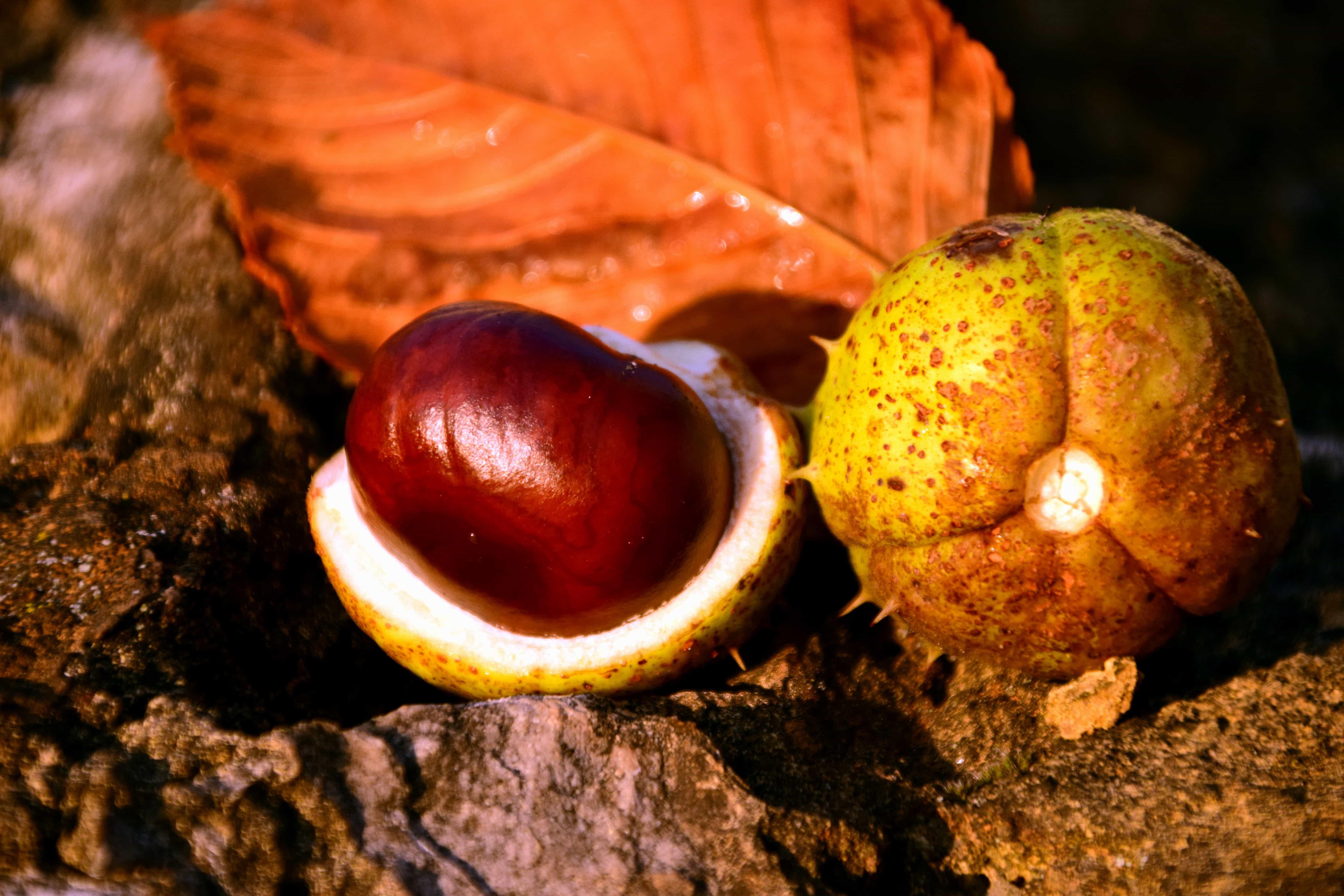 непременно оцените семена каштана фото верность также