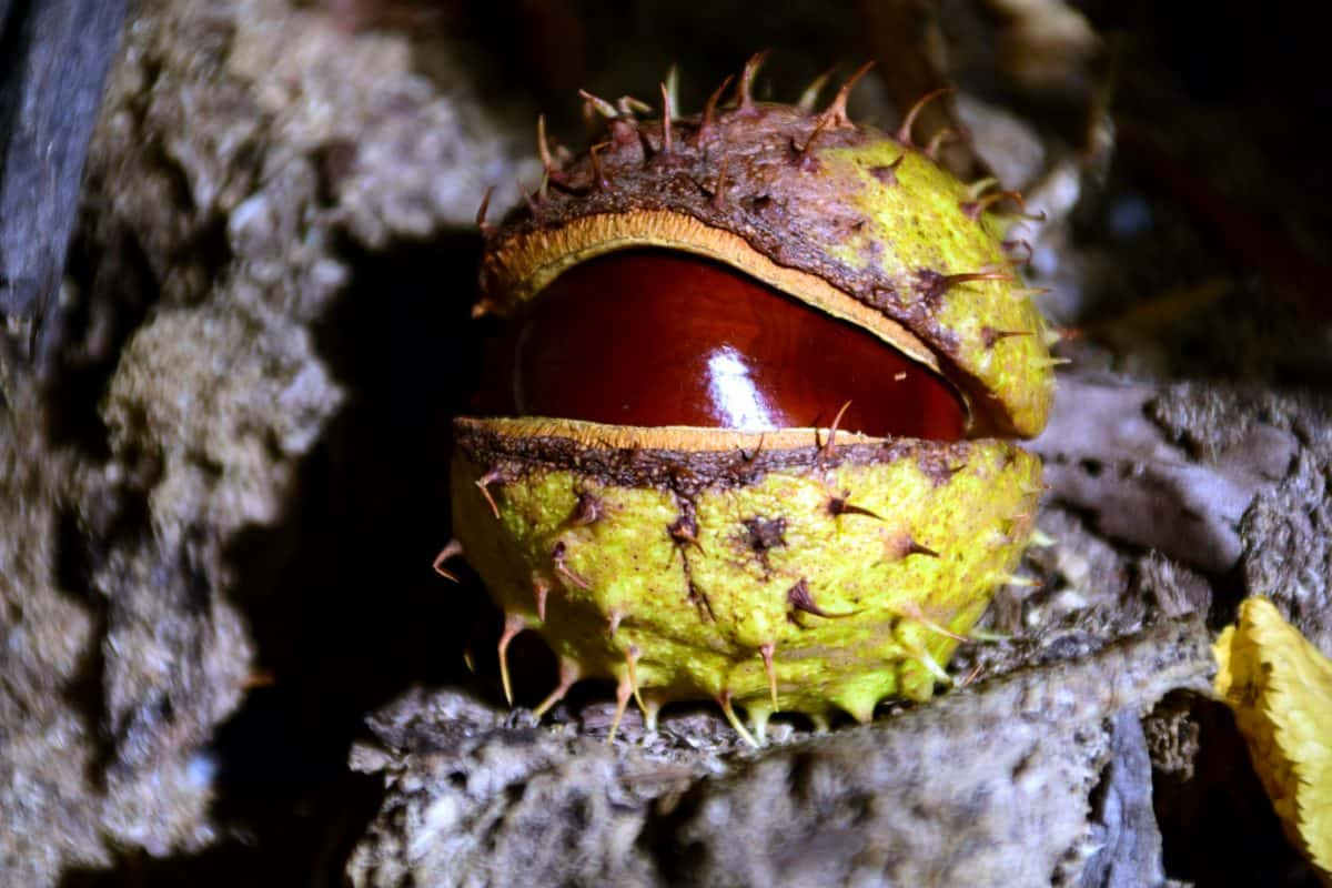 thực vật, gỗ, vỏ cây, hạt dẻ, hạt nhân mùa thu,