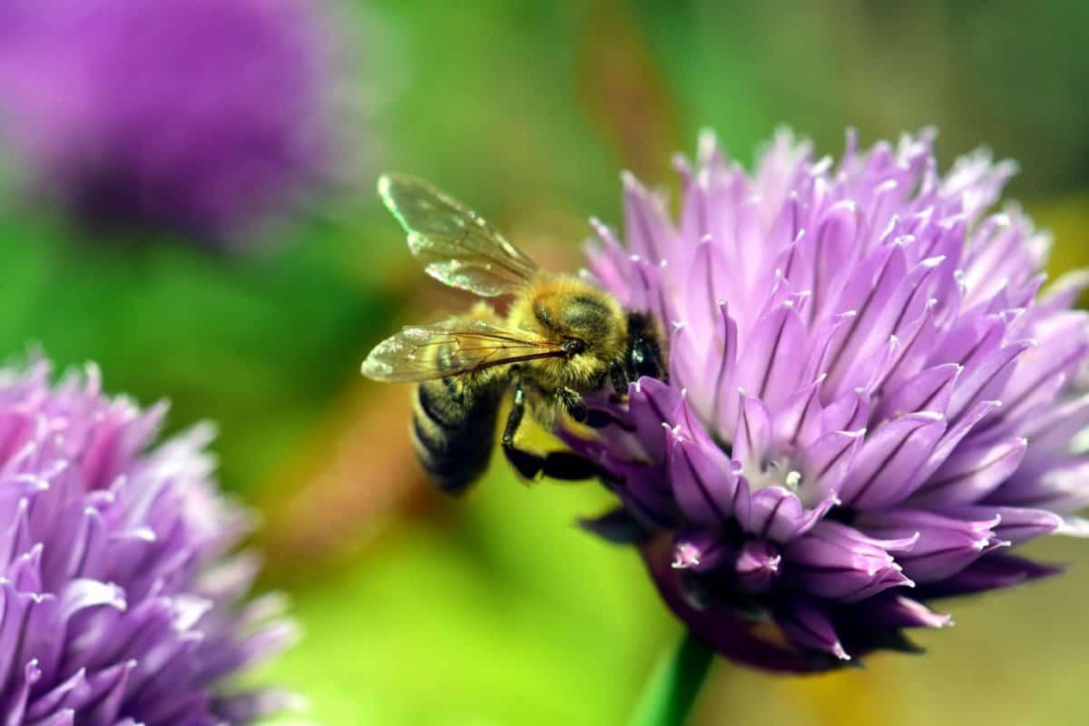 макрос, животно, пчела, лято, Градина, природа, флора, насекоми, цвете, цветен прашец