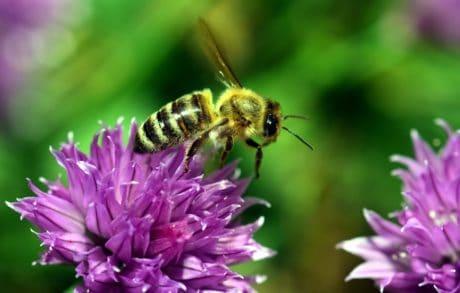 polline, insetto, estate, natura, flora, fiore, ape, ala, macro, natura