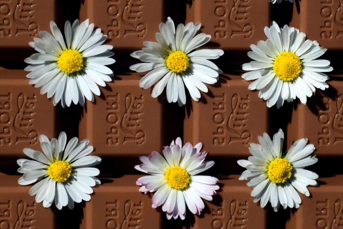 chocolate, flower, blossom, plant, bloom, summer, dessert