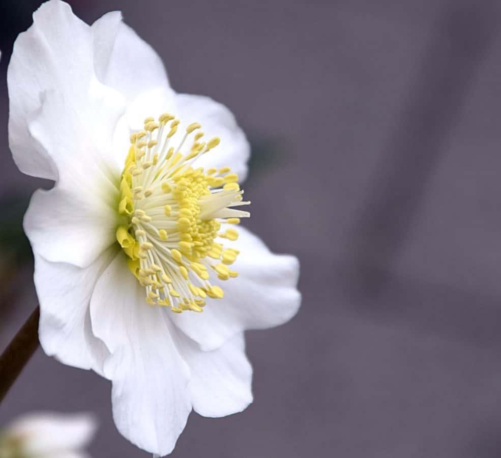 fleur, flore, feuille, nature, macro, pétales, jardin, plante, pistil, fleur