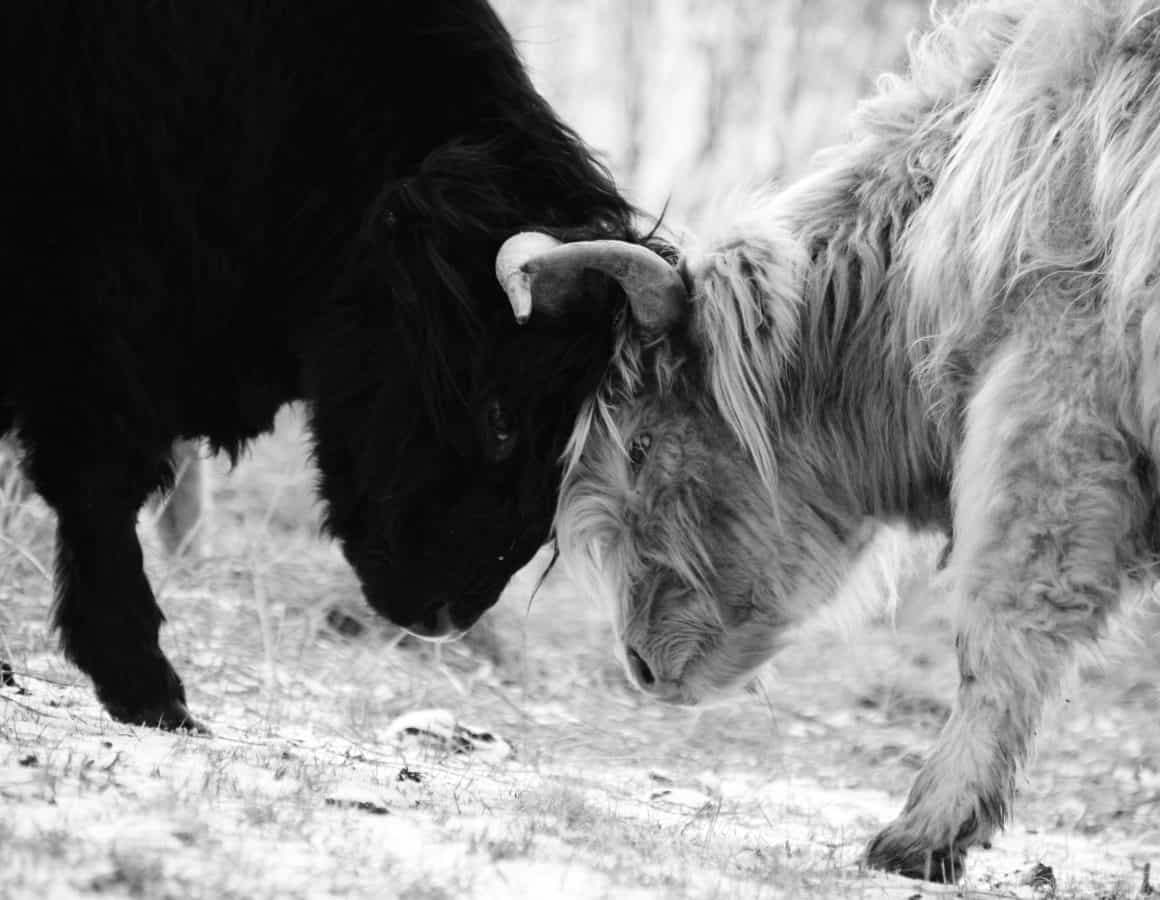 nature, fur, cattle, grass, monochrome, portrait, animal, cow, outdoor