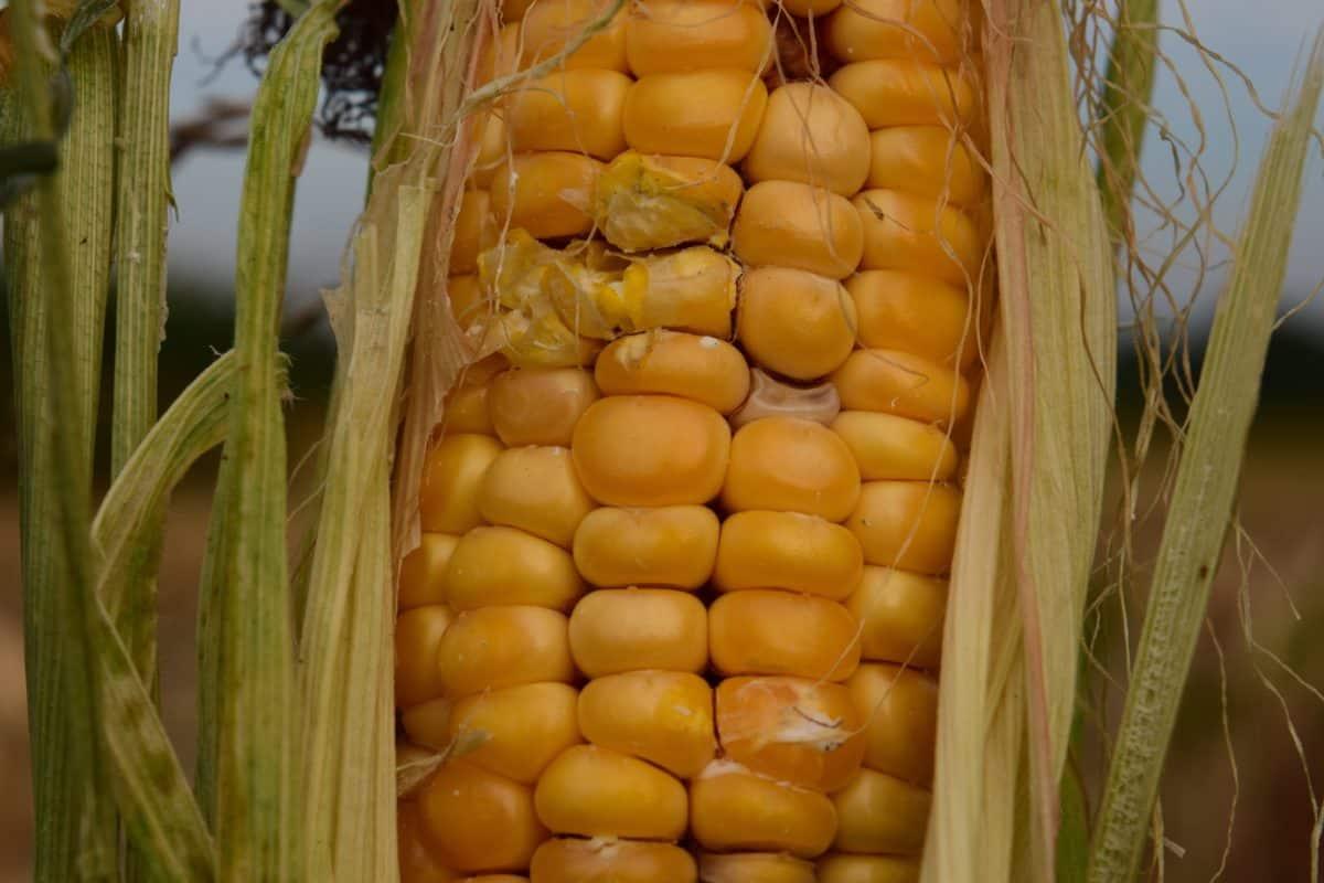 kukurica, potraviny, poľnohospodárstvo, jadra, osiva, makro, organické