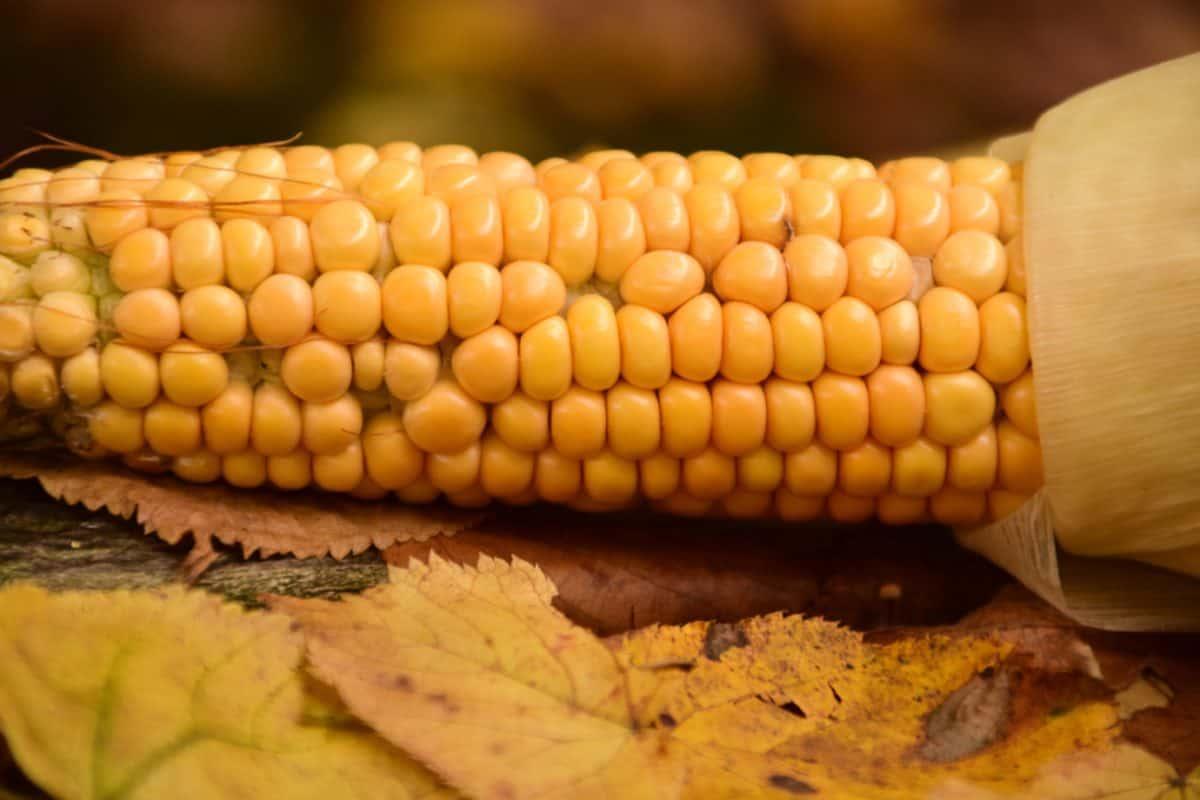 alimentos, maíz, kernel, semilla, orgánica, agricultura, macro