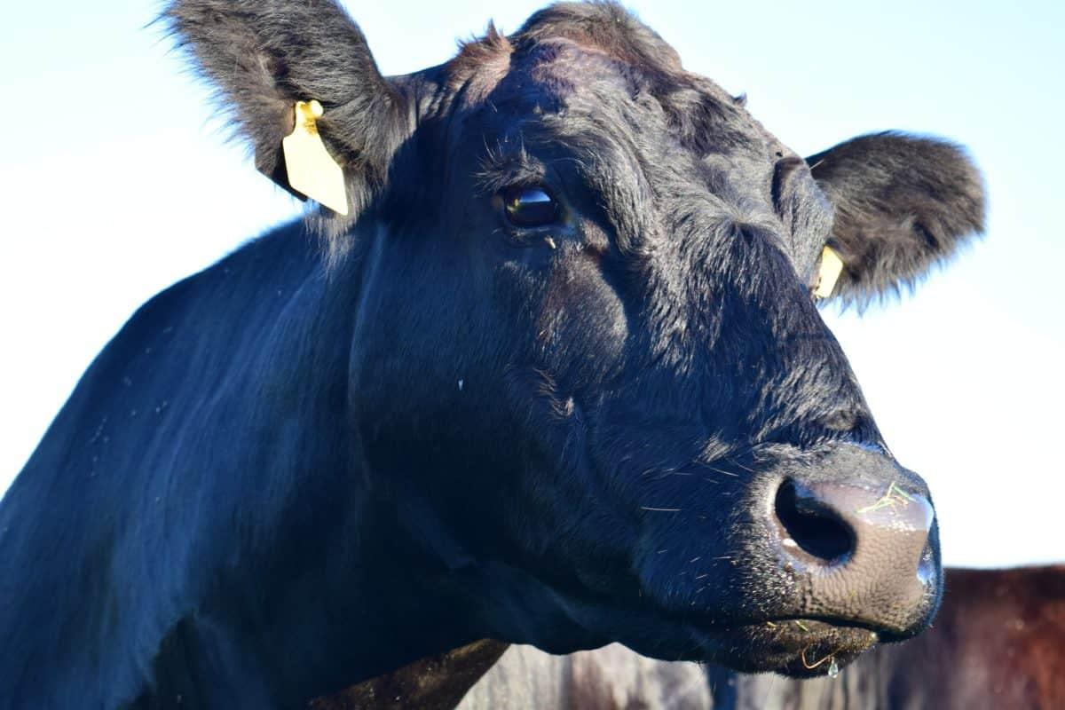 Tier, Stier, Landwirtschaft, Natur, Kuh, Vieh, Rinder