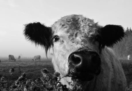 cattle, cow, grass, outdoor, monochrome, pasturage, agroculture