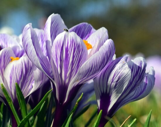crocus, flora, leaf, flower, nature, summer, plant, blossom