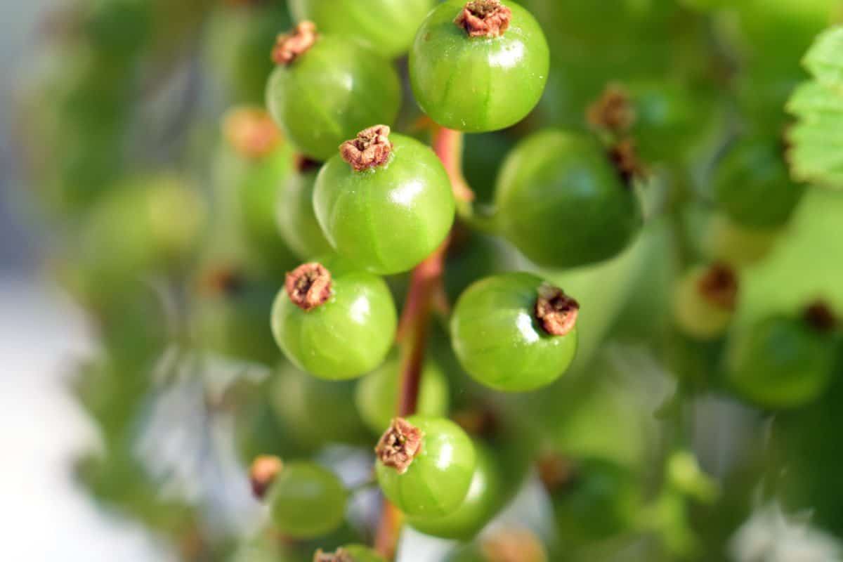 food, leaf, nature, fruit, currant, plant, berry