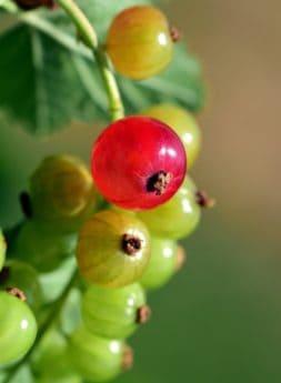 bär, frukt, natur, blad, sommar, vinbär, växt