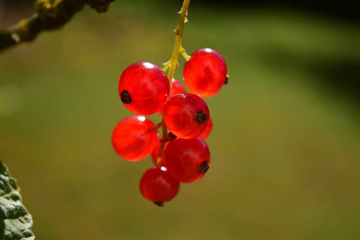 fruta, naturaleza, hoja, berry, verano, grosella, planta, dulce