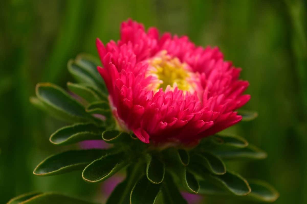 prirodi, ljeto, cvijet, vrt, flore, biljka, roza