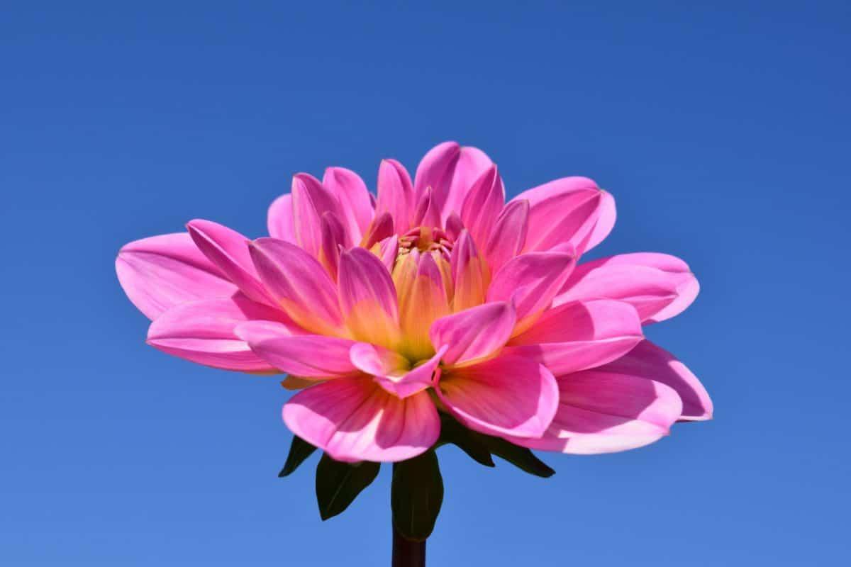 Príroda, leto, lupienok, kvetina, flora, ružová, kvet